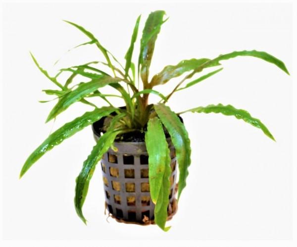Cryptocoryne costata- der weisliche Wasserkelch mit den schmalen gewelten Hellgrünen Blättern für schöne Aquarienbepflanzung bei Wiebies Aquawelt