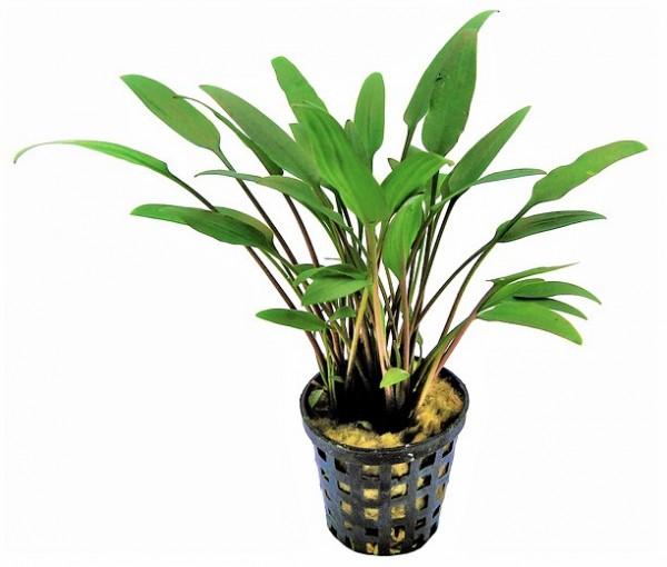 Cryptocoryne nevellii - Willis Wasserkelch, eine tolle robuste Wasserpflanze die auch Barsche durchaus überleben kann