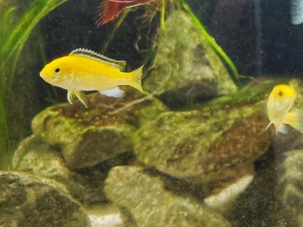 Labidochromis yellow - Gelber Maulbrüter