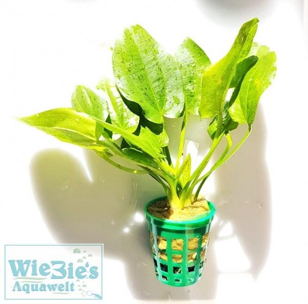 Echinodorus Ozelot grün, Schwertpflanze Wasserpflanze Aquariumpflanze