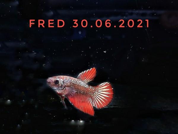 Kampffisch Nachzucht betta splendens plakat kempffische kaufen