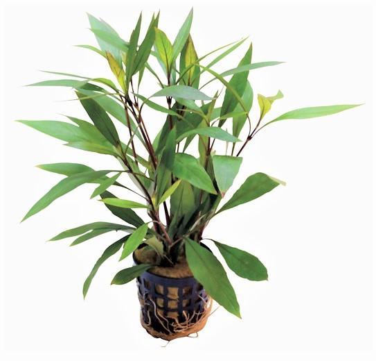 Hygrophila Corymbosa Thailand - schmalblättriger Wasserfreund eine tolle Aquarienpflanze und weitere Wasserpflanzen bei Wiebies Aquawelt
