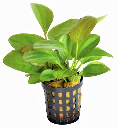 Echinodorus Midi Fleur - kleine Schwertpflanze und tolle weitere Wasserpflanzen für das Aquarium