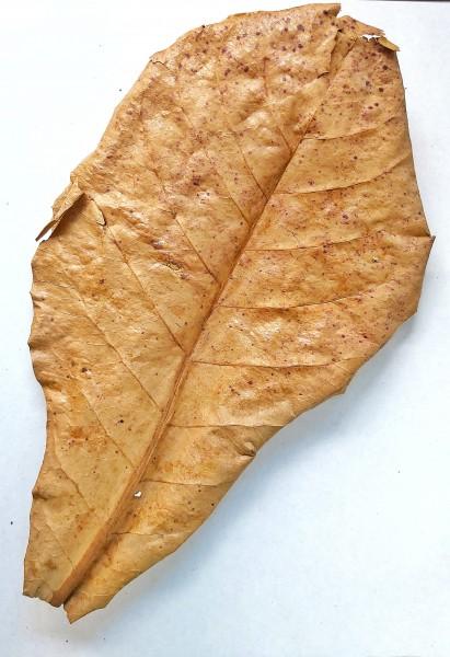 Seemandelbaumblätter Catappta Leaves Größe XL 20-25cm zu günstigen Preisen bei Wiebies Aquawelt