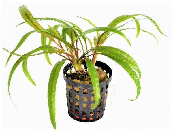 Cryptocoryne balansae- der genoppte Wasserkelch mit den schmalen gewelten Hellgrünen Blättern für schöne Aquarienbepflanzung bei Wiebies Aquawelt