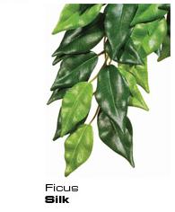 Ficus - Seidenpflanze