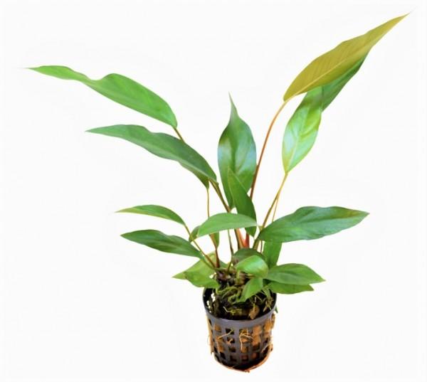 Anubias lanceolata - schmalblättriges Speerblatt bei wiebies Aquawelt tolle gesunde Aquarienpflanzen