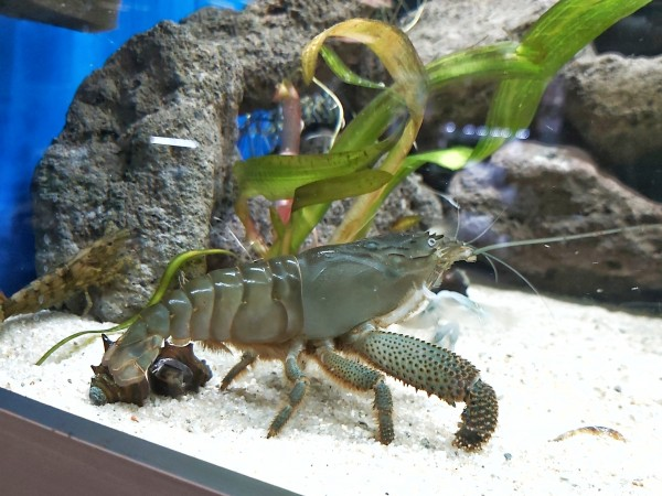 Atya gaboensis - Blaue Monsterfächergarnele XL