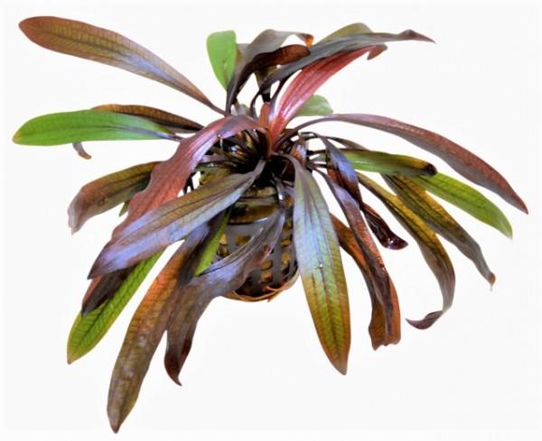 Echinodorus horemannii red - horemanns Schwertpflanze eine Schwertpflanze mit tollen schmalen Blättern bei Wiebies Aquawelt