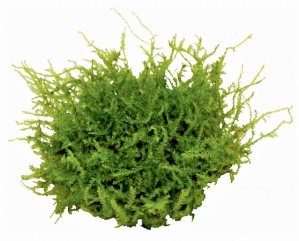 Christmas Moos - Vesicularia montagnei In Vitro