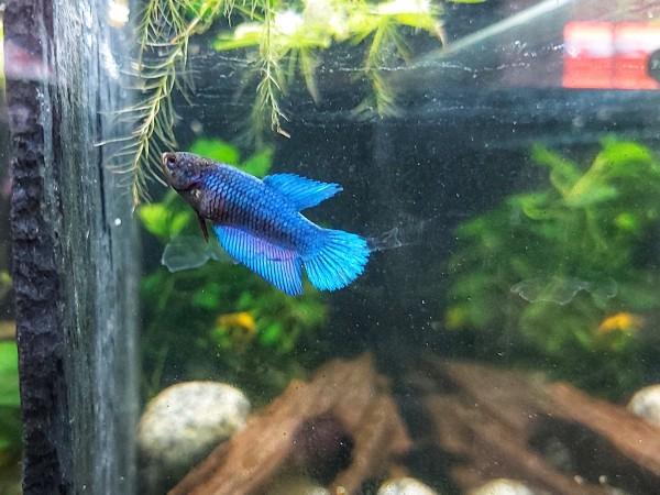 Dagobert der Kampffisch, Betta splendens plakat in blau rot