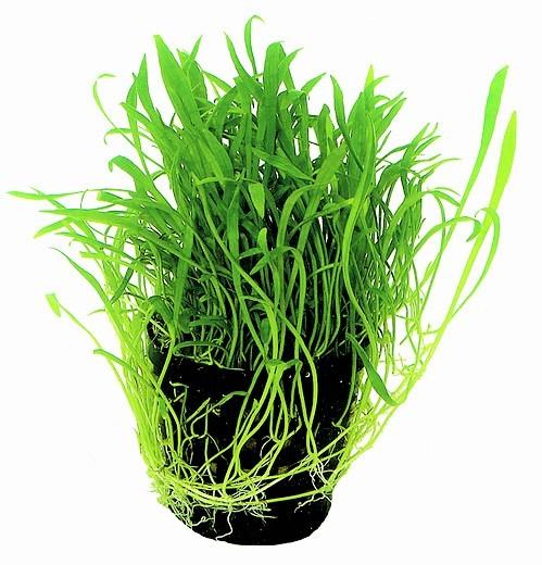 Lilaeopsis brasiliensis - Brasilianische Graspflanze eine tolle vordergrundpflanze für das aquarium