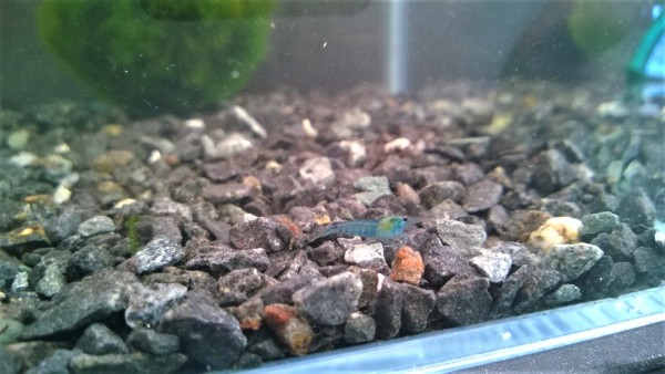 Neocaridina davidi Blue Jelly, Blaue Zwerggarnele,