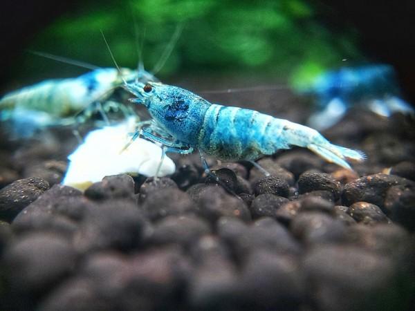 Caridina logemanni blue Bolt Garnele