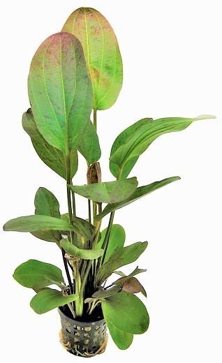 Echinodorus Ozelot rot - rotgefleckte Schwertpflanze die tolle Schwertpflanze mit roten Flecken