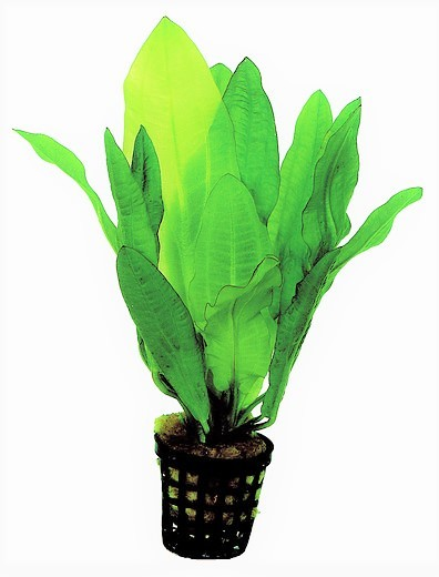 Echinodorus major-Gewelltblättrige Schwertpflanze, Amazonas, Wasserpflanze