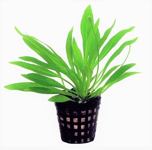 Helanthium Bolivianum die bolivianische Schwertpflanze für den Vordergrund