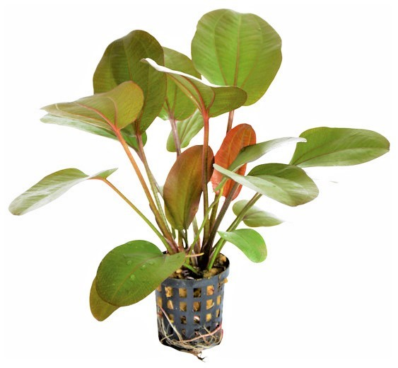 Echinodorus Rubra die rote Schwertpflanze und weitere tolle Wasserpflanzen bei Wiebies Aquawelt
