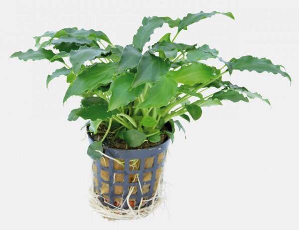 Schismatoglottis prietoi - robuste Aquarienpflanze für schöne Aquarienbepflanzung bei Wiebies Aquawelt