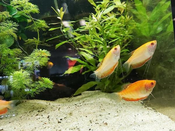 Trichogaster trichopterus - Gold punktierter Fadenfisch