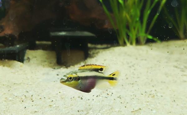 Pelvicachromis pulcher - pupurprachtbuntbarsch