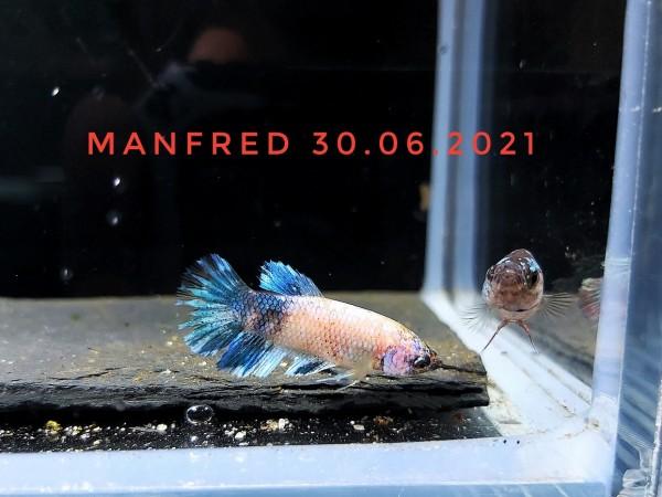 Unser Kampffisch Manfred aus eigener Nachzcht, Betta splendens weiß blau Kampffisch kaufen