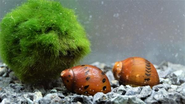 Orange Track Rennschnecke kaufen die Neritina turrita Rennschnecke kaufen bei Wiebies Aquawelt im Onlineshop