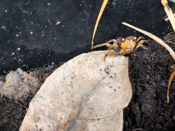 Geosesarma spec kaufen die Vampier Krabbe Volcano für dein terrarium