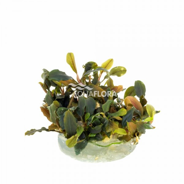 Bucephalandra Deep Purple - In Vitro