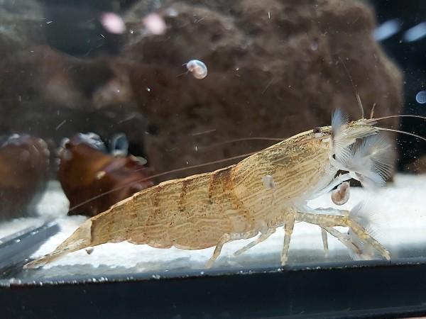 Atyopsis moluccensis - Molukkenfächergarnele