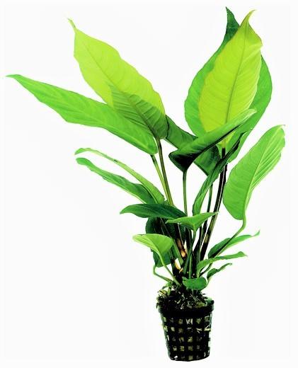 Anubias Heterophylla - Verschiedenblättriges Speerblatt bei wiebies Aquawelt tolle gesunde Aquarienpflanzen