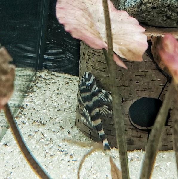 L52 - Zonancistrus sp. Schmetterlingsharnischwels