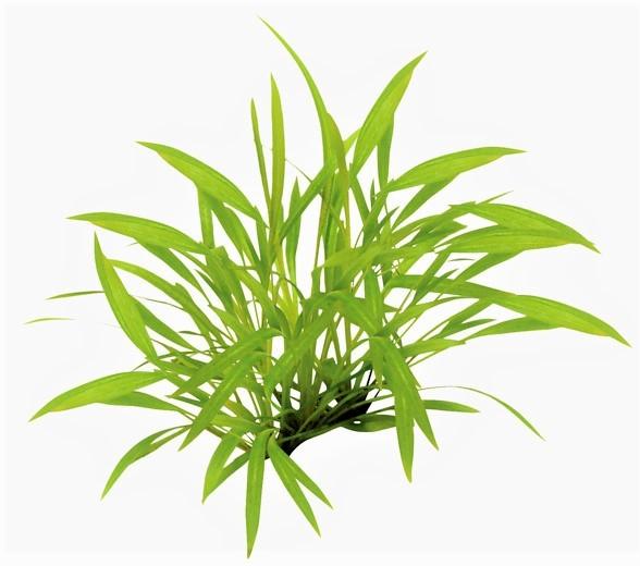 Helanthium tenellum - grasartige Zwergschwertpflanze eine tolle seltene pflanze