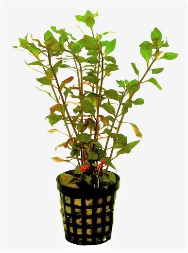 Ludwigia Palustris rot - rote Ludwigie kaufen, ludwigia Wasserpflanzen und aquariumpflanzen kaufen
