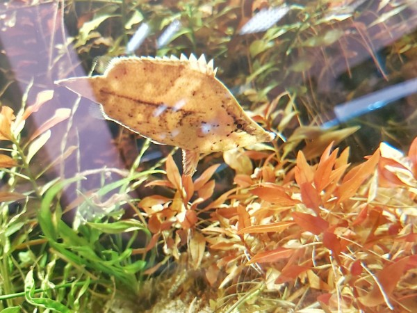 Monocirrhus polyacanthus - Blattfisch