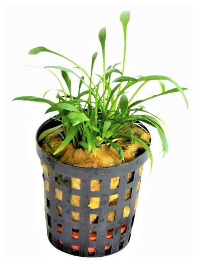 Cryptocoryne Parva der robuste Bodendecker für schöne Aquarien-