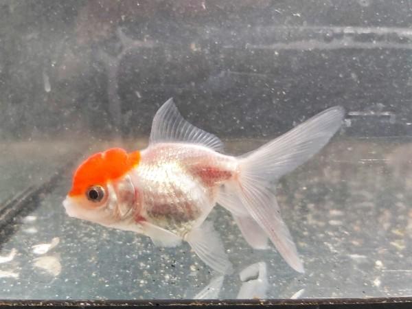 Carassius auratus - Red Carp Oranda