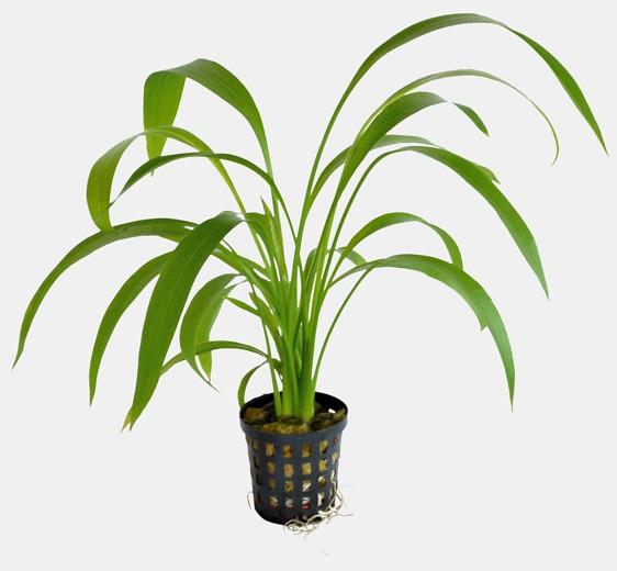 Echinodorus decumbens - niederliegende Schwertpflanze