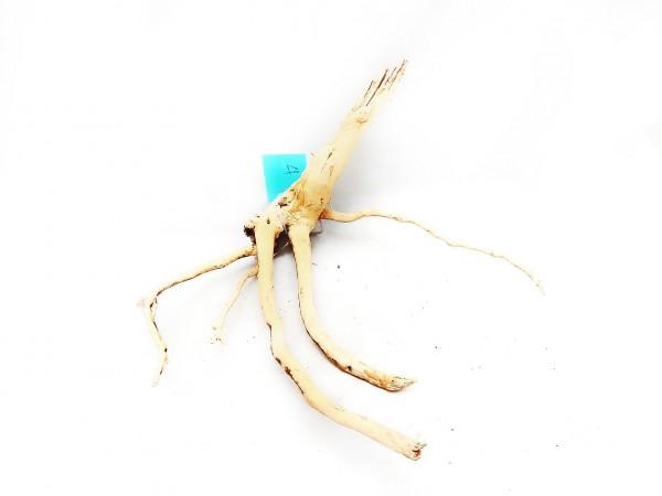 Fingerwurzel nano für kleine Aquarien tolle Aquariumwurzeln
