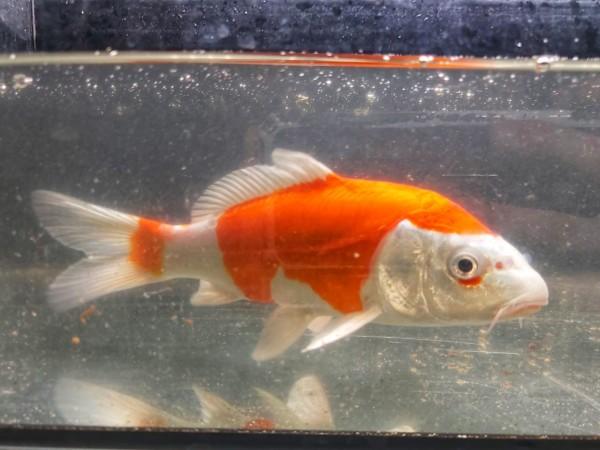 Cyprinus carpio - Koi versch. Farben
