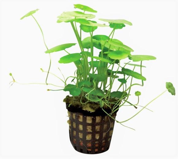 Hydrocotyle Verticillata - amerikanischer Wassernabel