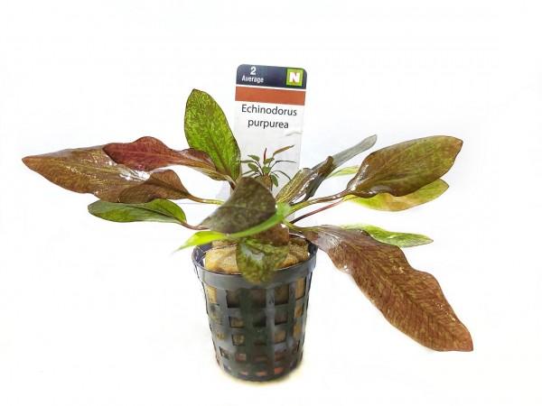 Echinodorus purpurea kaufen die kleine rote Schwertpflanze kaufen rote Schwertpflanze im Aquarium Zwergschwertpflanze