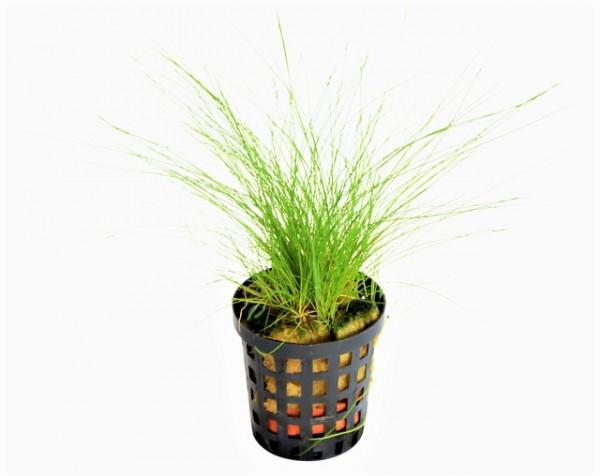 Eleocharis acicularis die Nadelsimse das robuste Gras im Aquarienvordergrund bei Wiebies Aquawelt