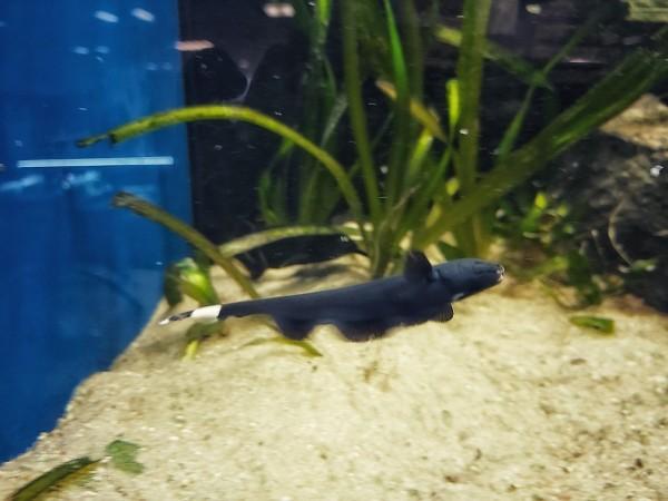 Apteronotus albifrons kaufen der Weißstirn Messerfisch im Aquarium