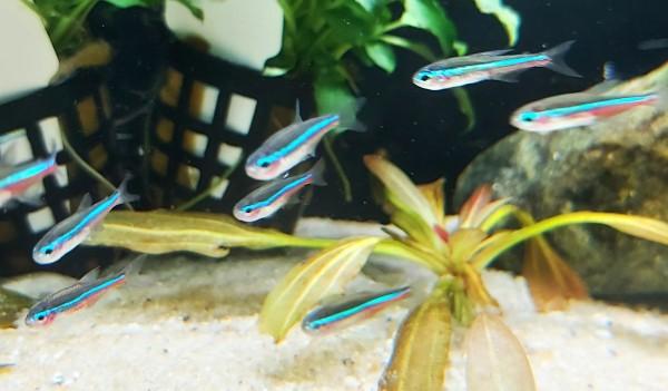 Paracheirodon simulans - Blauer Neon