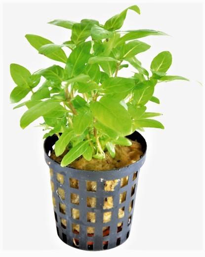 Staurogyne Repens - Kriechende Staurogyne eine tolle Aquarium Wasserpflanze aus Amerika für das perfekte Aquascape