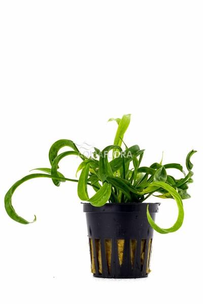Helanthium bolivianum vesuvius - Korkenzieher Schwertpflanze