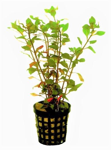Ludwigia Palustris rot - rote Ludwigie für jedes Aquarium und schwache Lichtverhältnisse