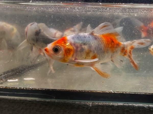 Carassius auratus shubunkin - bunter Goldfisch