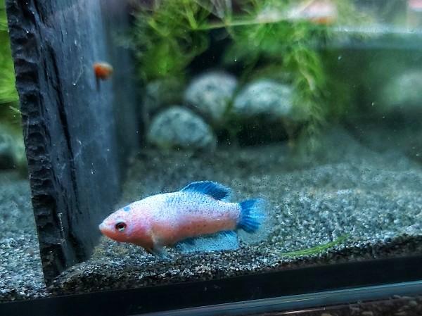 Unser Kampffisch Manfred aus eigener Nachzcht, Betta splendens weiß blau